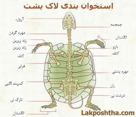 تصویر استخوان بندی لاک پشت