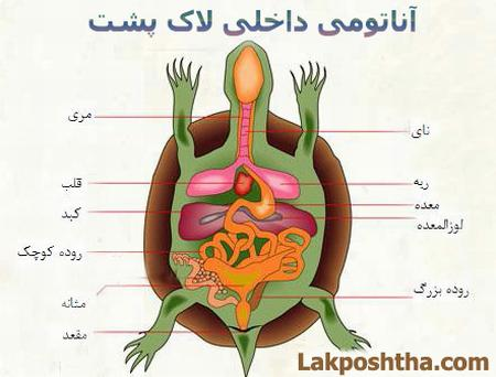تصویر آناتومی داخلی بدن لاک پشت